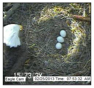 three eggs on 2013 Blackwater NWR Eagle Cam