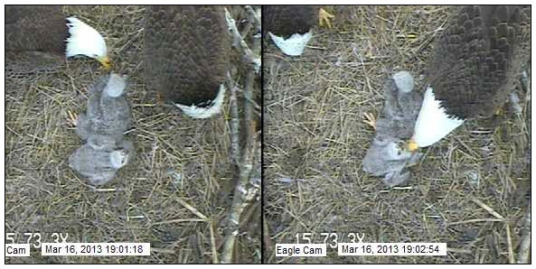 Both parents feed the Blackwater Eagle Cam chicks