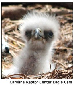 Eaglet from Carolina Raptor Center
