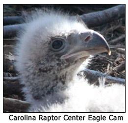 Carolina Raptor Center Eagle Cam