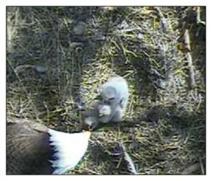 Three Chicks Eating on Blackwater Eagle Cam