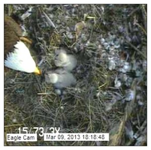 Two Chicks on Blackwater Eagle Cam