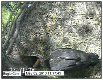 Blackwater NWR Eaglets Feeding
