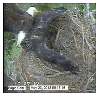 Blackwater eaglet mantling