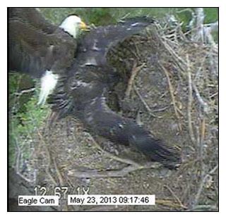Blackwater eaglet mantling