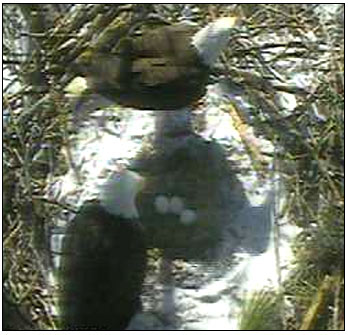 Three eggs from 2014 Eagle Cam season