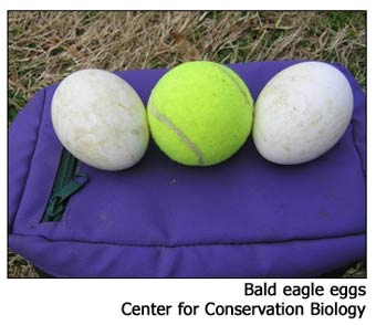 Bald eagle egg size