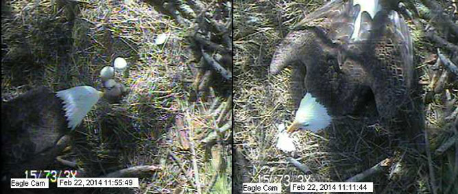 eaglet's first meal
