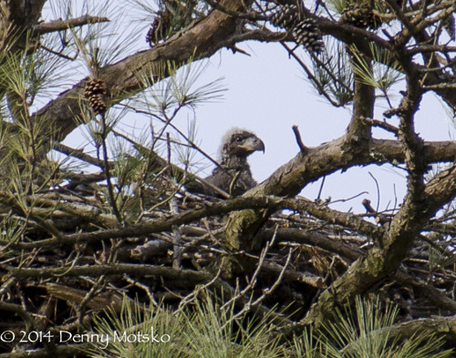 Virginia bald eaglet