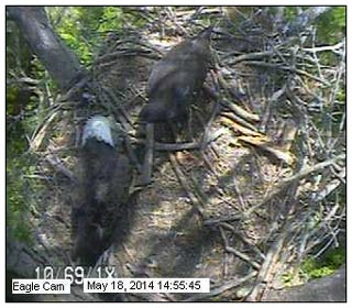 One eaglet feeding