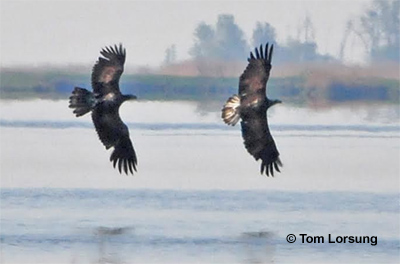 Eagles Over Blackwater River