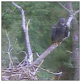 Perching eaglet