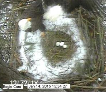 Three eggs on 2015 Eagle Cam