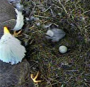 One chick in the 2015 nest